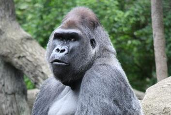 gorilla_HIV