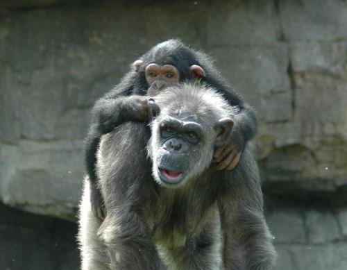 chimpance_vih